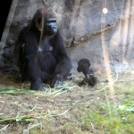 Animal Kingdom - Baby Gorilla!
