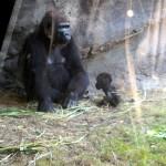 Animal Kingdom - Baby Gorilla!